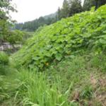 かぼちゃ栽培マニュアル