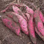 サツマイモの育て方【切り苗の植えつけ方次第で収穫量が決まる】