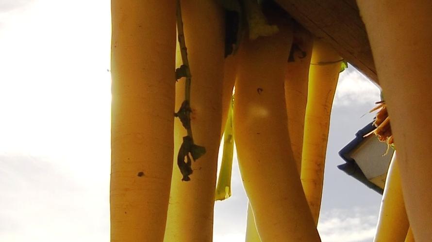 大根を太く、長く、真っ直ぐにする育て方 【秋大根の栽培】