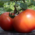 トマトの育て方、仕立て方【初心者・中級者向けに分けて解説】