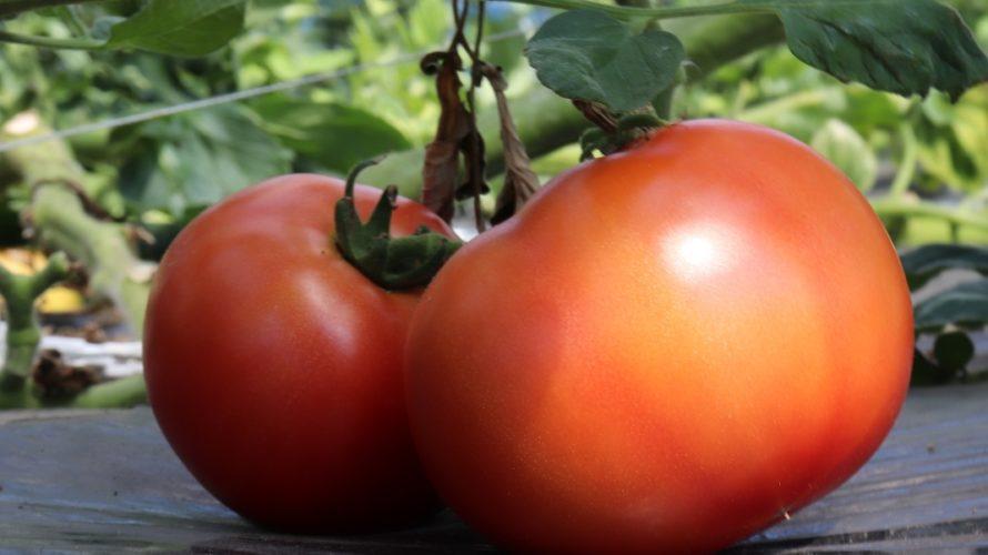 トマトの育て方、仕立て方で気になる点と【トマトが好む水やりと肥料】