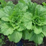 白菜の栽培【品種の多様な特徴と育て方のポイント】