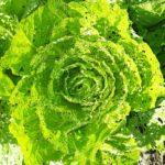 白菜(ハクサイ)の育て方。【被害の大きな4種類の害虫の正体】