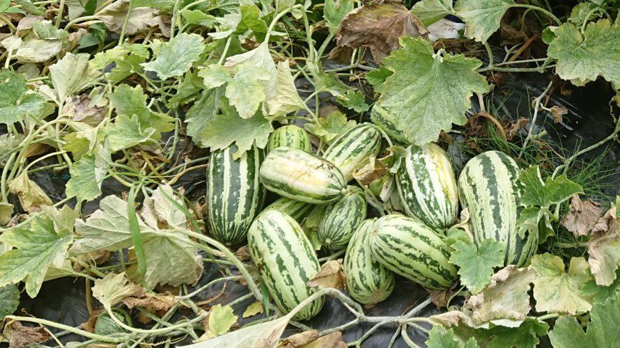 マクワ瓜・漬瓜を育てよう。昔懐かしい農家の味【ギャル瓜・かわず瓜】