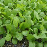 白菜栽培で失敗しない苗の作り方・植え方