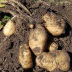 ジャガイモのおいしい時期が3回ある理由とは【じゃがいもの育て方:保存方法】