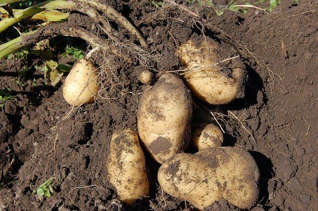ジャガイモがうまい時期が3回ある理由【じゃがいもの育て方:保存方法】