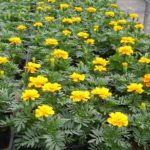 花苗の育て方・買い方【花壇に植えても大きくならない。育たない苗がある。】