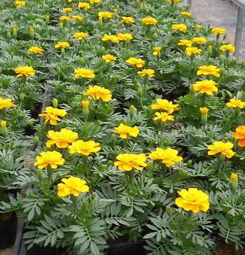 花壇苗の生産現場から、植えても大きくならない。育たない苗がある。その理由とは