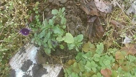 花壇苗の植え方はココを押さえて株を大きくしましょう②【プランター栽培】