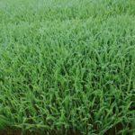 水稲の育苗保温の管理は暑すぎ注意【種まき~苗の管理の方法】