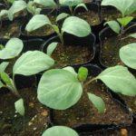 夏の野菜苗づくり、4月の管理 今年はちょいと注意。2020【温度と時期】