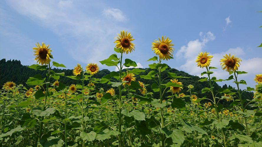 ひまわり畑の作り方【簡単で景観良好!しかも連作障害回避と緑肥の効果】