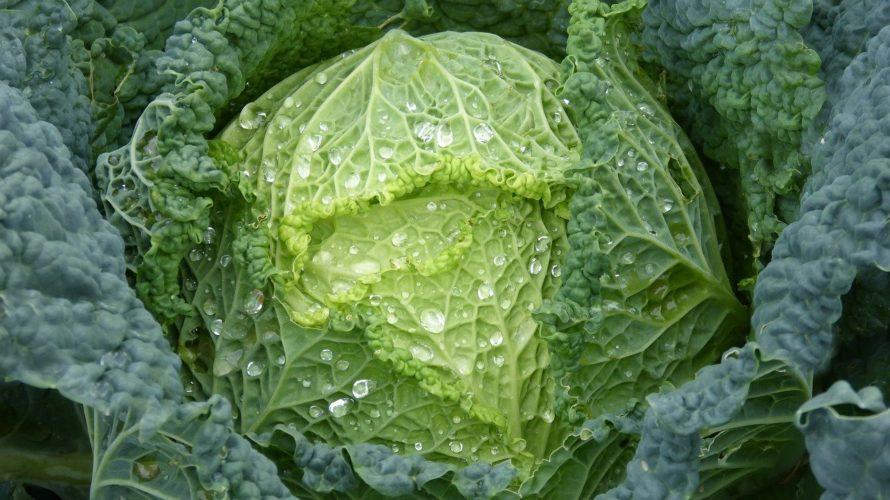 白菜(ハクサイ)の育て方。結球するのに植え時が大事【水と肥料を切らさない】