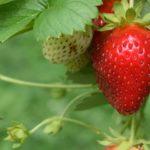 イチゴの構造と露地栽培の方法【株分け動画あり】
