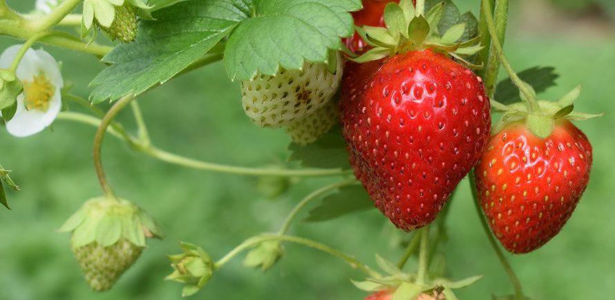 イチゴの構造と育て方の3つのポイント【イチゴの株分け動画のおまけ付】
