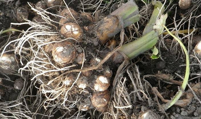の 方 里芋 植え