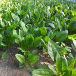 ほうれん草の育て方【種の選び方から肥料・栄養分析まで】まとめ