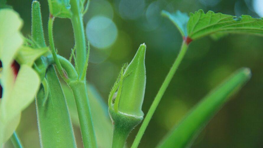 オクラの育て方【オクラの苗より畑にタネ蒔きしたほうが簡単】