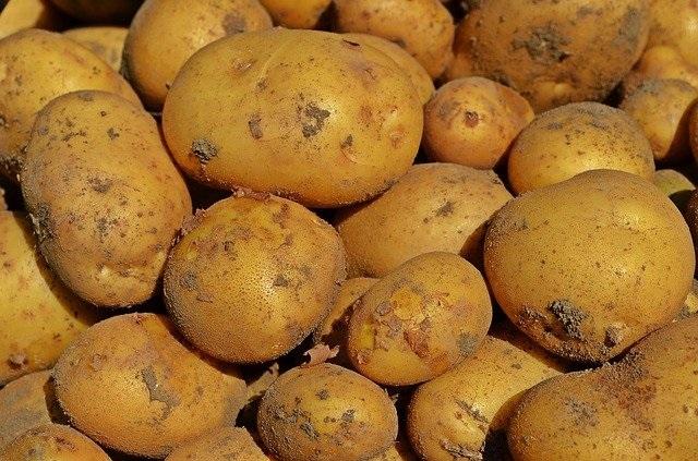 ジャガイモ(男爵)の育て方【サイズを揃え、収穫を2倍にする方法】