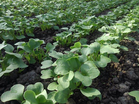 3月の種まき、できる野菜は(つまみ菜・カイワレ大根をとっても簡単に育てる)